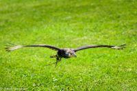 Karakara-fliegend-J.Reichart